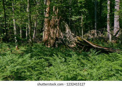 Bracken Fern floral bad in front of old tree stump, Bialowieza Forest, Poland, Europe
