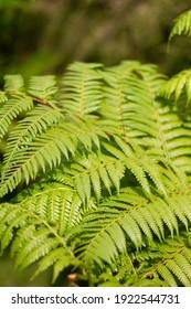 Bracken Fern or Pteridium aquilinum in the forest