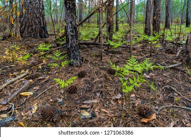Bracken fern (Pteridium aquilinum), sprouting from floor of a longleaf pine forest in The Nature Conservancy's Green Swamp Preserve of North Carolina. A controlled burn cleared out the undergrowth.