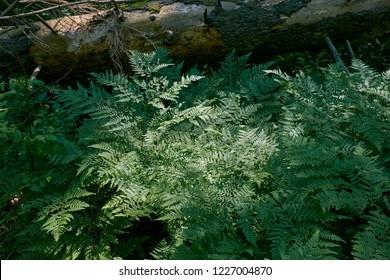 Bracken Fern in summer next to dead spruce tree log, Bialowiza Forest, Poland, Europe