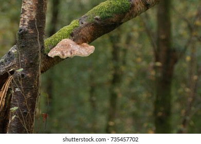 Bracket fungus on a tree in a Welsh woodland.