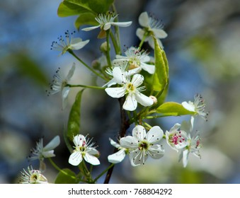 Bradford Pear flowers clustered on a branch.