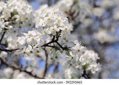Bradford Pear Tree Blooms