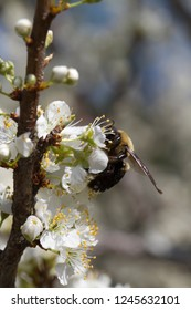 Bradford Pear Tree Blossoms with Bumble Bee