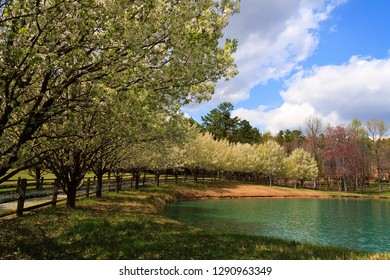 Bradford Pear Trees Blooming in the Spring