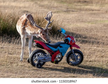 Bradgate Park, Leicestershire, England, August 2nd 2018: Rain Deer with full antlers and child's toy motorcycle in summer sunshine.