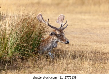 Bradgate Park, Leicestershire, England July 25 2018: Fallow Deer photographed in early evening golden sunlight on a hot summer day. Adult deer trying to stay cooling long grass.