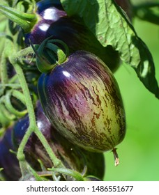 'Brad's atomic grape' is a Tomato variety in the Solanum genus with a scientific name of Solanum lycopersicum. 'Brad's atomic grape' is considered a heirloom cultivar.