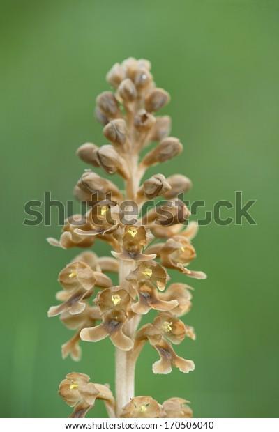 Braeunliche Nestwurz, Vogelnest-Orchidee, Mepttoa modis-avis, Orchis