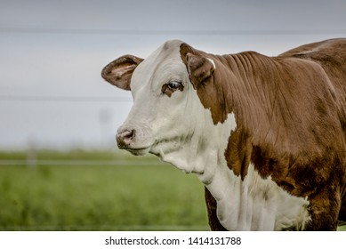 The Braford is a cross between a Hereford and a Brahman, the make up of the Braford is 3/8 Brahman and 5/8 Hereford