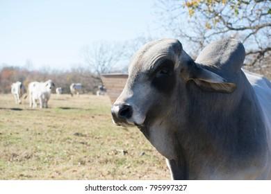Brahma Bull Close Up