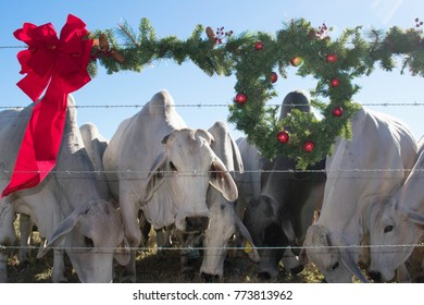 Brahma Cow Herd Christmas Portrait