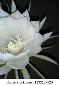 brahma kamal which blooms only in night