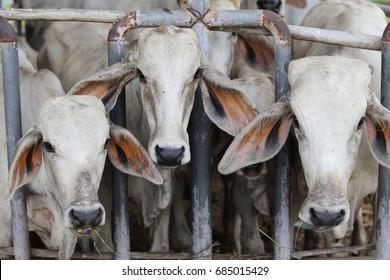 brahman beef cattle