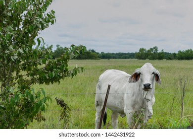 Brahman Cattle, Bos indicus cattle, have a large hump over the top of the shoulder and neck, American cattle production, Breeds of Livestock, Animals, bulls, cows in South Louisiana.
