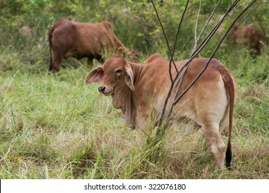 brahman cattle in field