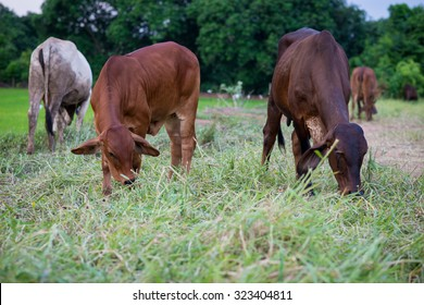 Brahman cattle in a green field