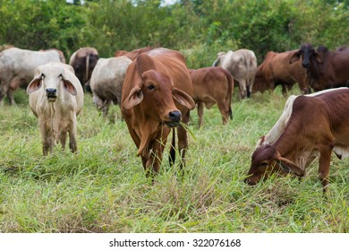Brahman Cattle Raised in conversion of rubber