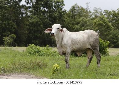 Brahman Cattle in stables