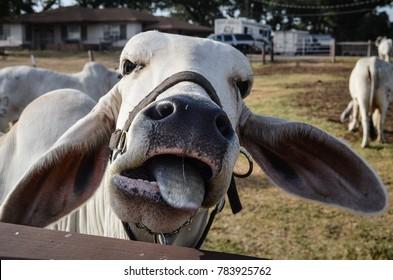 Brahman Cattle, Texas