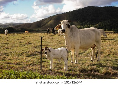 Brahman cow and calf against a wire fence in a field
