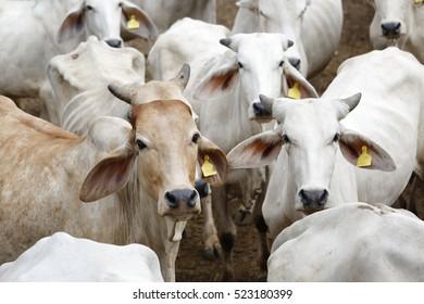 Brahman cow at a cattle farm