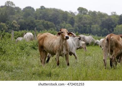Brahman cow at a cattle farm or ranch