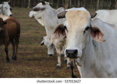 Brahman Cow head shot looking left with other cattle in background