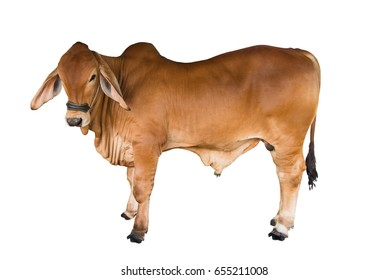 Brahman cow on isolate on white background,this has clipping path