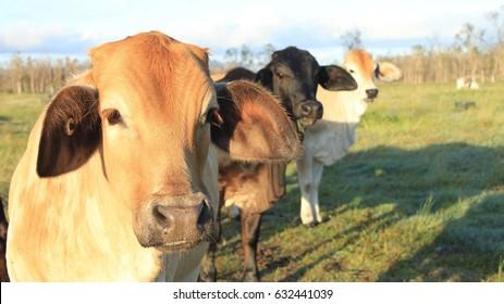 Brahman cross Angus Cattle Steers and Heifers