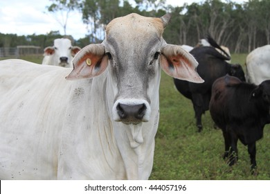 Brahman cross cow looking straight ahead with cattle in background