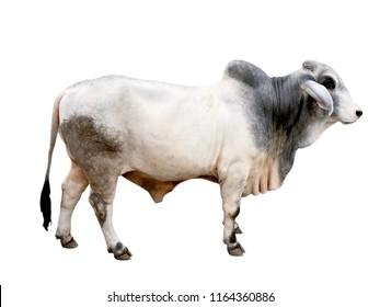 Brahman ox isolated on white background