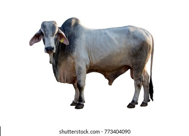 Brahman ox isolated on white background with clipping path