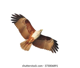 Brahminy Kite bird on white blackgroundbird (Brahminy Kite) showing wing spread Isolated on white background