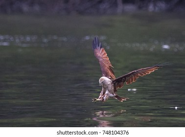 Brahminy Kite Eagle fishing