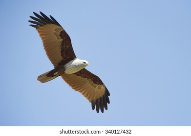 Brahminy Kite flying on blue background