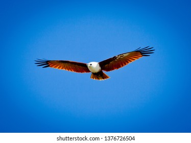 Brahminy Kite also known as the red-backed sea-eagle in Australia, Bird of prey on the wing flying in blue sky with wings outstretched. Hunting for food.