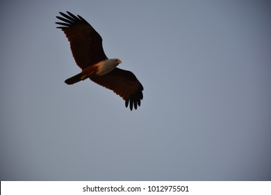 Brahminy kite looks out for prey