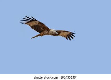 Brahminy Kite(Red-backed Sea Eagle)  flying in blue sky