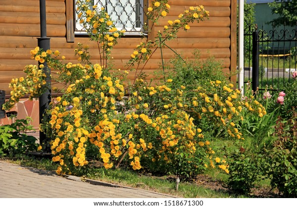braided-yellow-rose-full-name-600w-15186