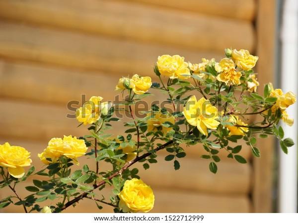 Braided yellow rose, full name, Persian Yellow, Foetida Persiana. Bright yellow flowers close-up.