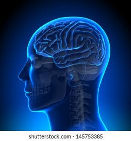 Brain Anatomy Blue Blank