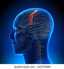 Brain Anatomy - Sensorimotor area