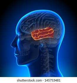 Brain Anatomy - Temporal lobe