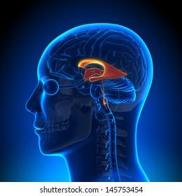 Brain Anatomy - Ventricles