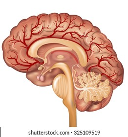 Brain and Blood vessels of the brain, beautiful colorful illustration detailed anatomy. Cross section, isolated on a white background.