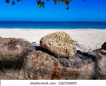 Brain Coral at the Beach