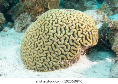 Brain coral in the bottom of the sea