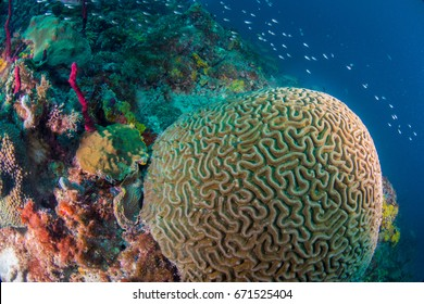 A brain coral with brown chromis swimming around it