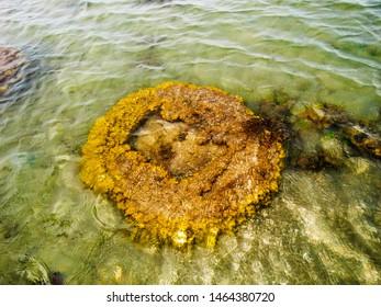 Brain Coral, Kurusadai Island, Gulf of Mannar Biosphere Reserve, Tamil Nadu, India.